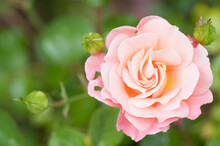 Macro Shot Of Peach Rose With Buds Against A Green Background - Perfect For Wallpap