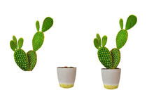 Opuntia Microdasys On White Background.The Trunk Is Round Or Flat. There Are Spiny Spots Spread Over The Skin.