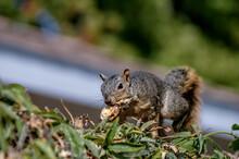 Eastern Fox Squirrel (Sciurus Niger) In Park, Los Angeles, California, USA