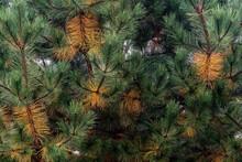 Selective Focus Closeup Of The Pine Needl