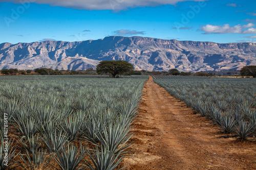Billede på lærred paisaje agavero