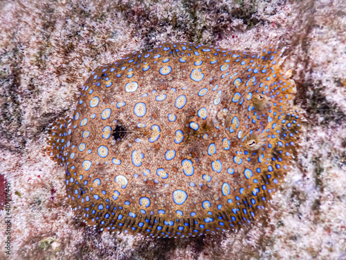 Fotografiet High angle shot of a peacock flounder face on the rocks underwater
