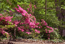 Azalea Mollis Hybrid (Rhododendron X Mollis) In Arboretum, Washington DC, USA