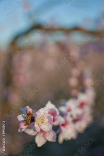 Fototapeta Vertical shot of the pink flowers of a blooming peach tree obraz na płótnie