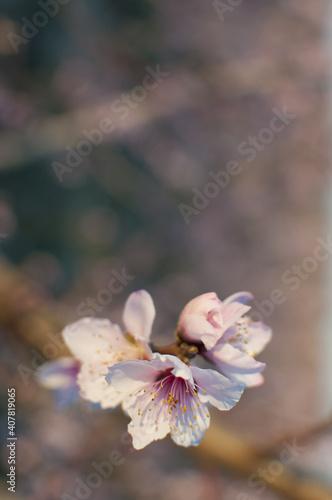 Fototapeta Vertical shot of blooming peach flowers on a branch of a tree obraz na płótnie