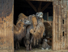 Family Of Bactrian Camel, Camelus Bactrianus. It Is Native To The Steppes Of Central Asia