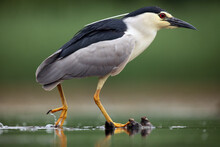 The Black-crowned Night Heron (Nycticorax Nycticorax) Watching For Fish In Shallow Water.Little Night Heron With A Red Eye On A Green Background.