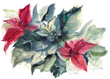 Christmas Flower, White And Red Poinsettia Leaves