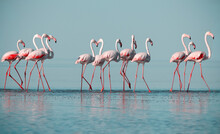 Wild African Birds. Group Birds Of Pink African Flamingos  Walking Around The Blue Lagoon On A Sunny Day.
