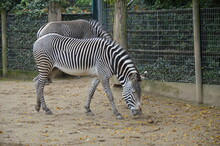 Grevy Zebra (Equus Grevyi) In The Frankfurt Zoo
