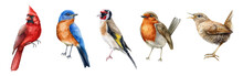 Bird Set Watercolor Illustration. Red Cardinal, Eastern Bluebird, Goldfinch, Robin, Wren Close Up Images. Realistic Garden And Forset Birds Collection Element. Beautiful Avian Set On White Background.