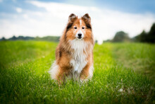 Cute, Smiling Fluffy Sable White Shetland Sheepdog, Little Sheltie Portrait On Green Grass Field. Fur Oldie Small Collie With Gray Eyelashes, Lassie Dog With Smiling Face In Park On Hot Summer Day