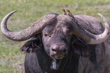 Portrait Of Large African Buffalo With Red Billed Oxpecker