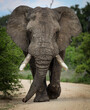 canvas print picture - African male elephant with big tusks walking
