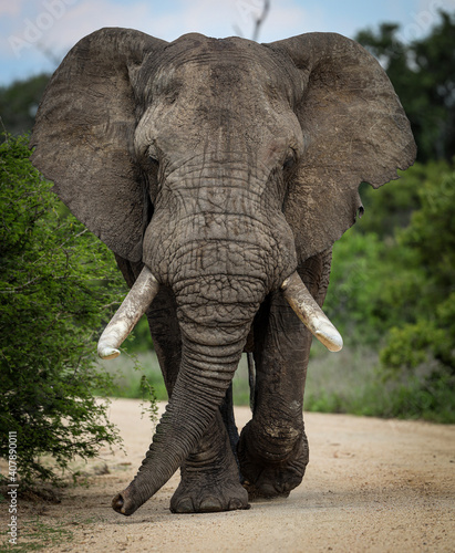 Fotografia, Obraz African male elephant with big tusks walking