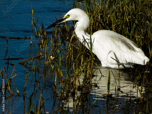 Canvas Print A cute white heron eating on the river bank, although unfortunately I could not