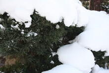 Ocieplenie Klimatu, Ziemia, Natura, Globalna Zagłada, Ostatnia Zima, Ostatnie Dni Zimy, Ograniczenie Emisji, Sosna, Iglaki, Osłona Zimowa, Okrycie Roślin, Przemarzanie, Zabezpieczenie Roślin, Ogród