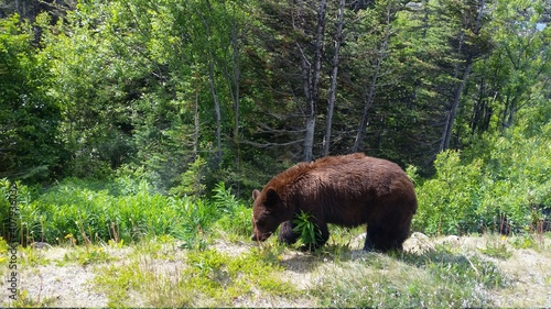 Fényképezés brown bear in the woods