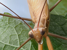 Close-up Of A Brown Praying Mantis