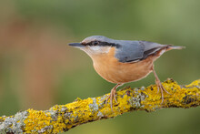 Nuthatch Walks On A Branch