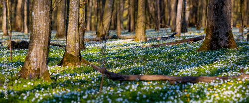 Fototapeta Fantastic forest with fresh flowers in the sunlight. Early spring time is the moment for wood anemone. obraz