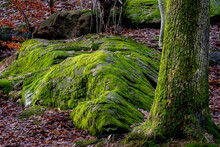Woodland Scene With Moss Covered Rock, Autumn Leaves And Oak Tree Trunk