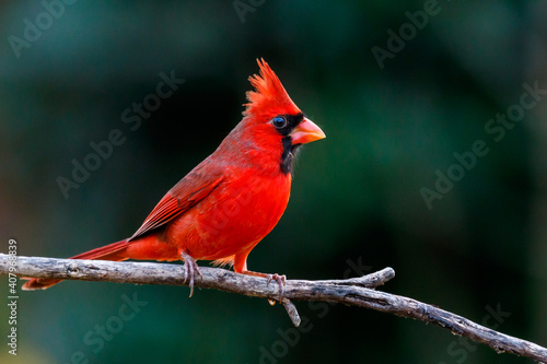 Fotografiet Northern Cardinal