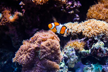 Nemo, The Ocellaris Clownfish, Amphiprion Ocellaris, Orange Clownfish That Live In Sea Anemones