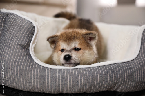 Papel de parede Adorable Akita Inu puppy in dog bed indoors