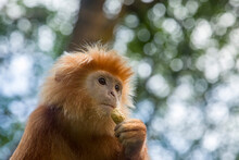 The Javan Lutung (Trachypithecus Auratus) Is Eating Peanut,  Also Known As The Ebony Lutung And Javan Langur, Is An Old World Monkey From The Colobinae Subfamily