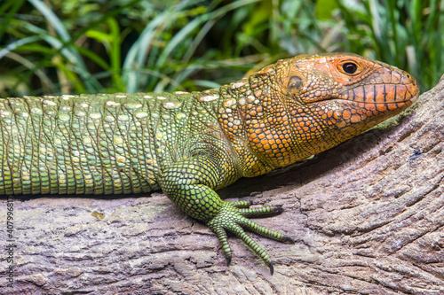 Kajman północny leży na pniu. Jest to gatunek jaszczurki występujący w północnej Ameryce Południowej. Ciało jaszczurki kajmana jest bardzo podobne do ciała krokodyla.