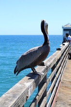Pelicans On The Pier