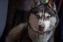 Portrait Of A Siberian Husky Close-up On A Dark Background.