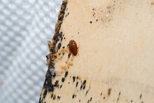 Bed Bugs, Bedbug Eggs, Blood And Larvae On A Timber Bed Slate