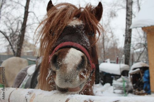 Canvas-taulu a pony horse with a bridle stuck its head out in the paddock.
