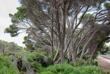 Wind Swept Trees In Coastal Park