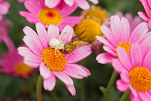 A White Flower Crab Spider , Misumena Vatia, Hidden Within Colorful Flowers With Her Prey
