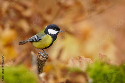 piękna sikora siedząca na gałęzi. Scena dzikiej przyrody z ptakiem śpiewającym. Jesień w przyrodzie. Parus major.