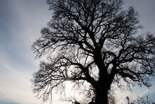 Bare Oak Tree, Quercus Rober, In Winter; Silhouette Against A Wintery Grey Blue Sky, England