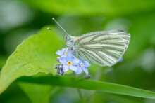 White Butterfly Sitting On A Beautiful Little Blue Flowers, Shallow Depth Of Field.