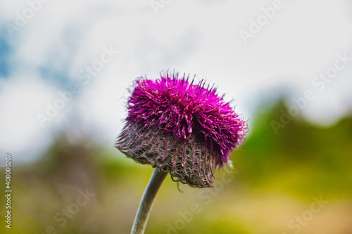 Obraz na plátně Close up of the Jurinea mollis flower