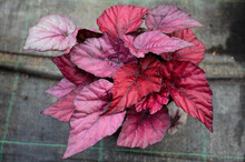 A Begonia Plant With Dark Pink Variegated Leaves In A Pot On A Background Of Gray Matting