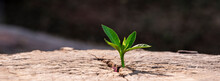 A Strong Seedling Growing In The Old Center Dead Tree ,Concept Of Support Building A Future Focus On New Life With Seedling Growing Sprout,New Life Growth Future Concept Wide Banner