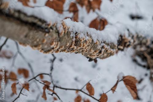 Pień drzewa porośnięty grzybami w zimowym lesie - fototapety na wymiar
