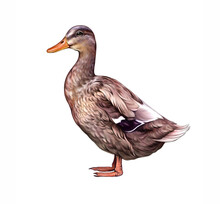 The Duck (Anas Platyrhynchos Domesticus)