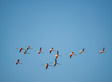 Flamingoes Flying Above The Bay Of Cadiz In Southern Spain