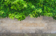 Beautiful Background With Green Wisteria Leaves On The Old Stone Wall. Space For Text