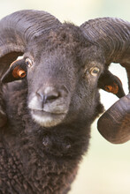 Close Up Of A Male Black Ouessant Sheep