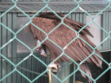 A Vulture In A Cage