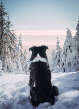 Rear View Of Border Collie Sitting In Snow During Winter